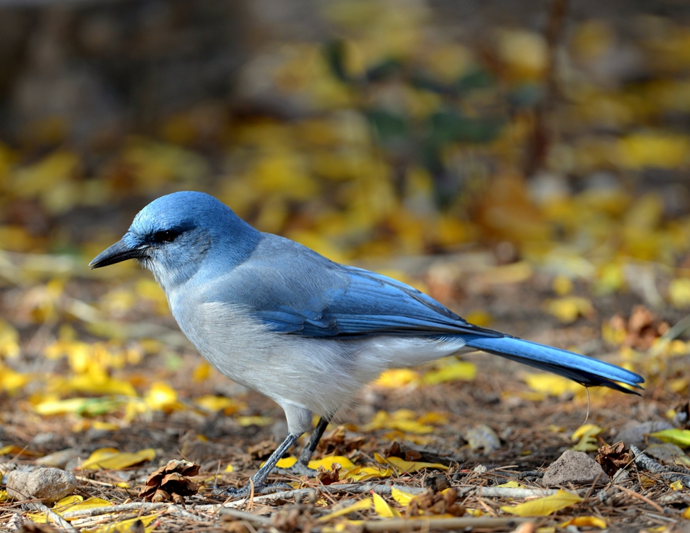 Mexican Jay | Cave Creek Canyon, Arizona | November, 2012