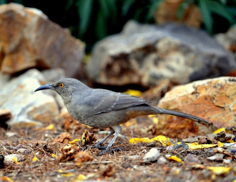 Curve-billed Thrasher | Cave Creek Canyon, AZ | Nov, 2012