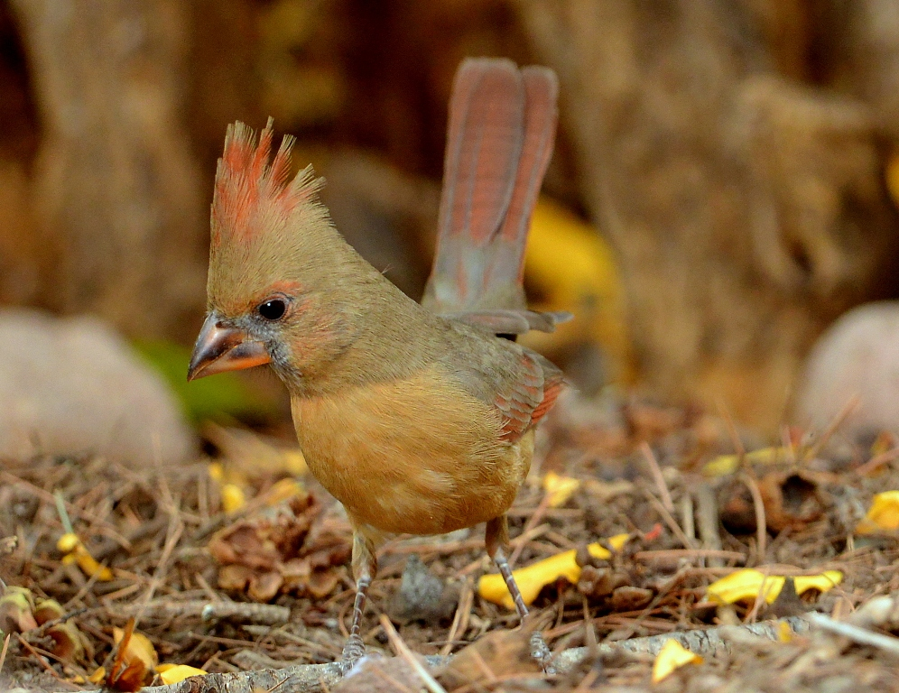 Northern Cardinal – Juvenile | Cave Creek Canyon, Arizona | November, 2012
