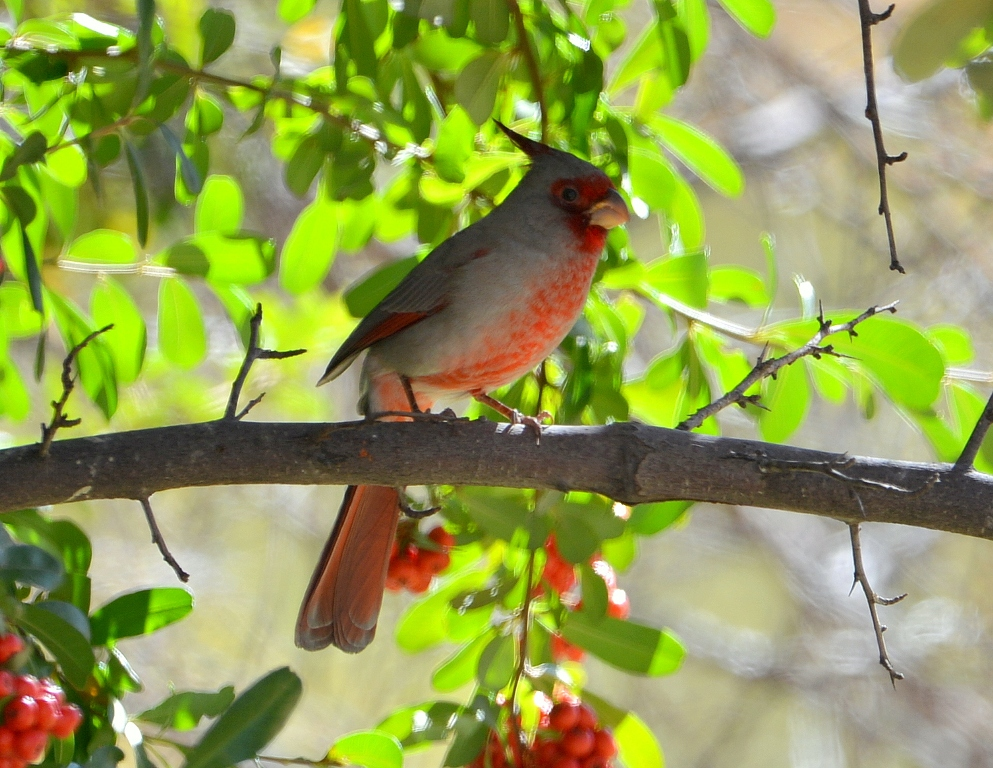 Pyrrhuloxia – Male | Cave Creek Canyon, Arizona | November, 2012