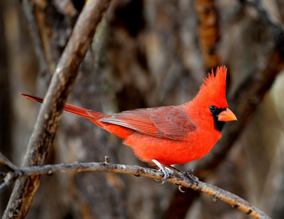 Northern Cardinal | Cave Creek Canyon, AZ. | November, 2012