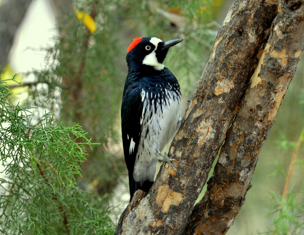 Acorn Woodpecker | Cave Creek Canyon, AZ. | Nov, 2012