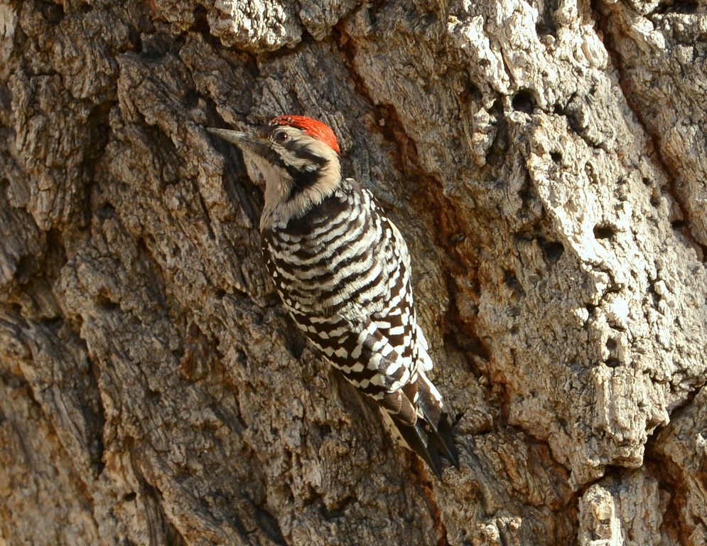 Ladder-backed Woodpecker | Cave Creek Canyon, Arizona | November, 2012