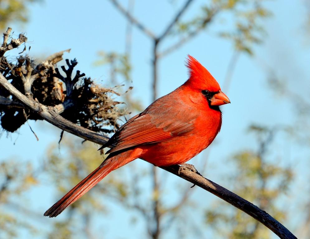 Northern Cardinal – Male | Portal, Arizona | December, 2012