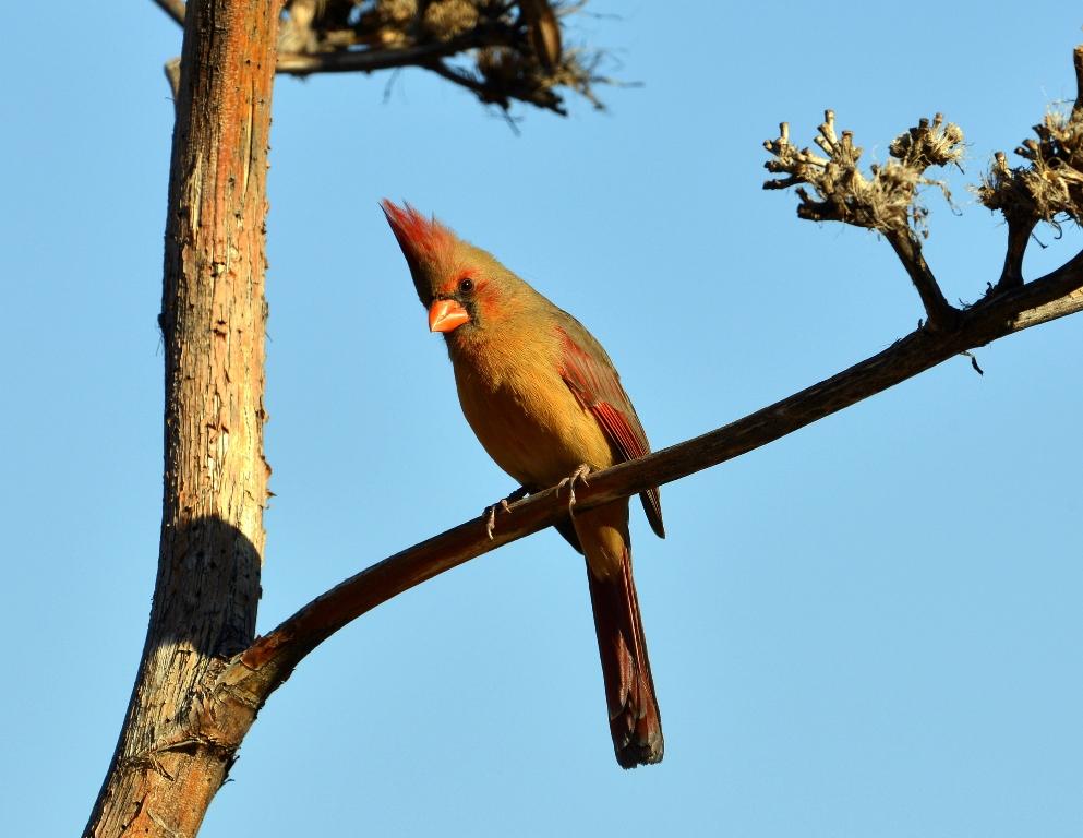 Northern Cardinal – Female | Portal, Arizona | December, 2012