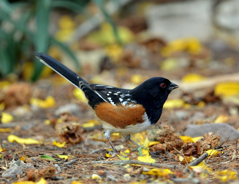 Spotted Towhee – Male | Cave Creek Canyon, Arizona | November, 2012