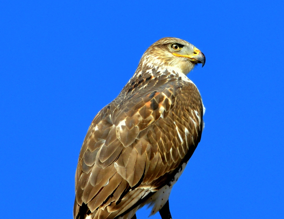 Ferruginous Hawk | Estancia, New Mexico | November, 2012