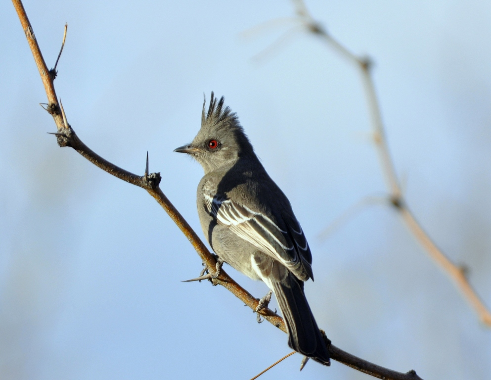 Phainopepla – Female | Portal, Arizona | December, 2012