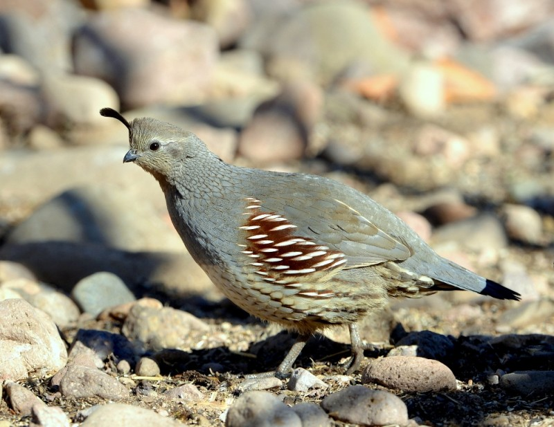 Gambel's Quail – Female | Portal, Arizona | December, 2012