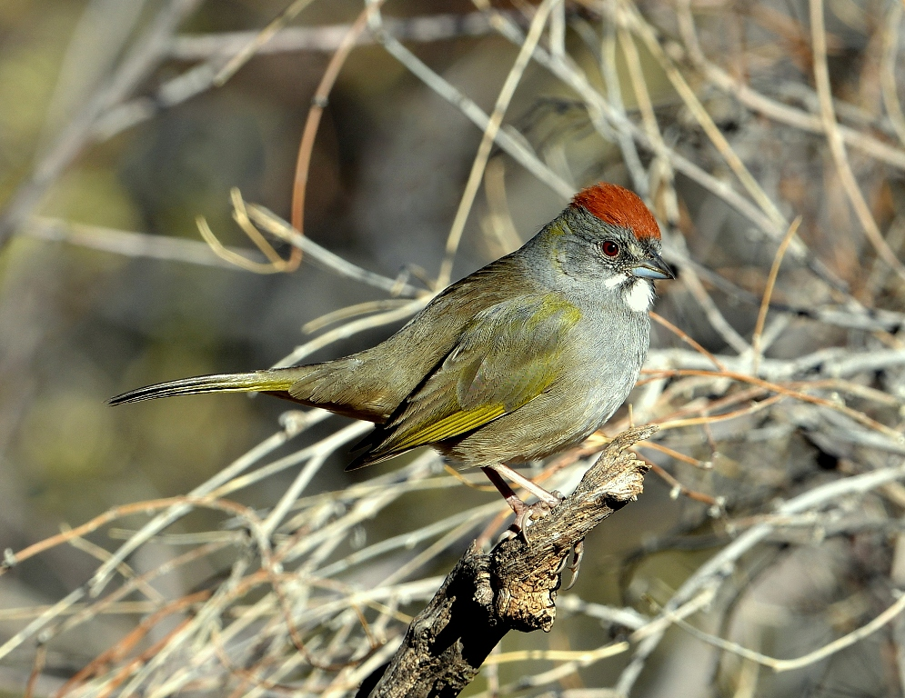 Green-tailed Towhee | Portal, Arizona | December, 2012