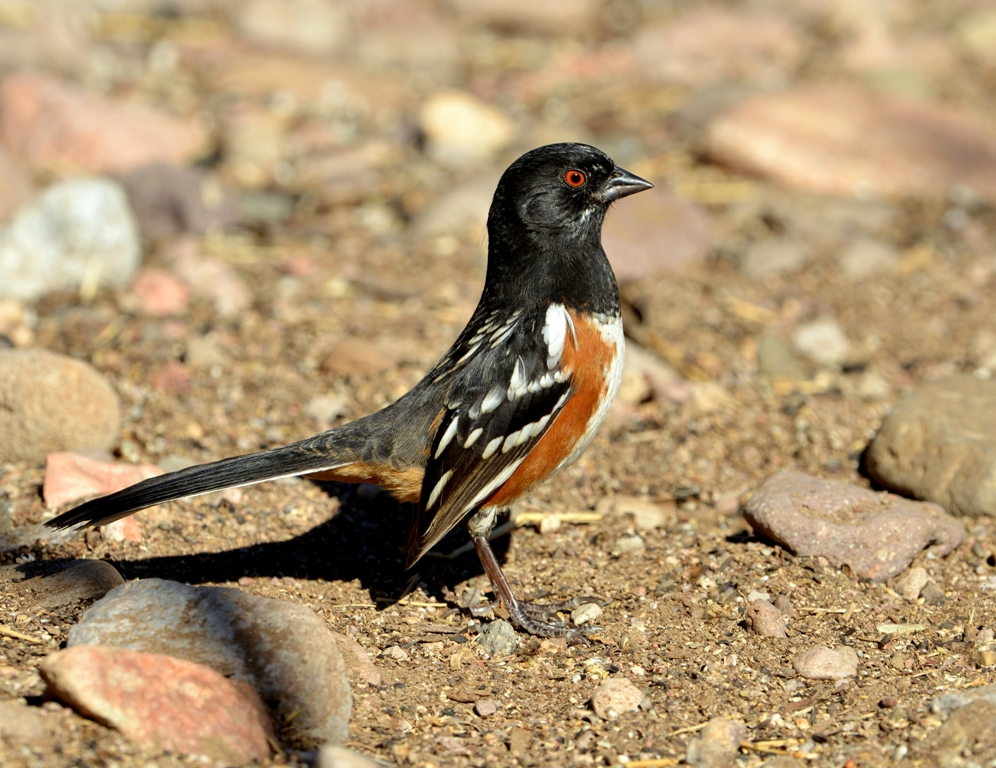 Spotted Towhee – Male | Portal, Arizona | December, 2012