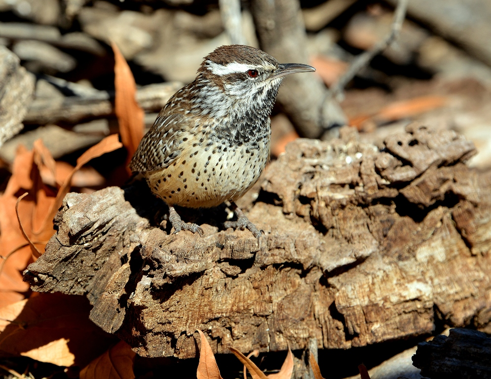 Cactus Wren | Portal, Arizona | December, 2012