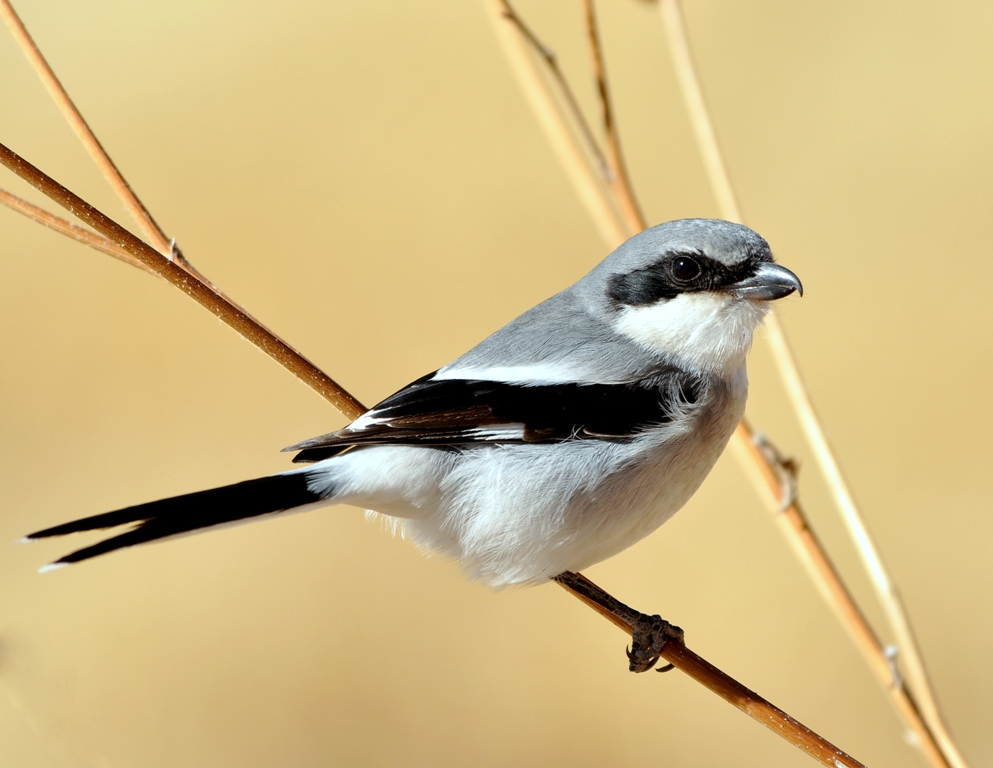 Loggerhead Shrike | Bosque del Apache | January, 2013