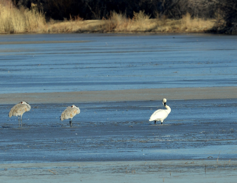 Tundra Swan | Bosque del Apache | January, 2013