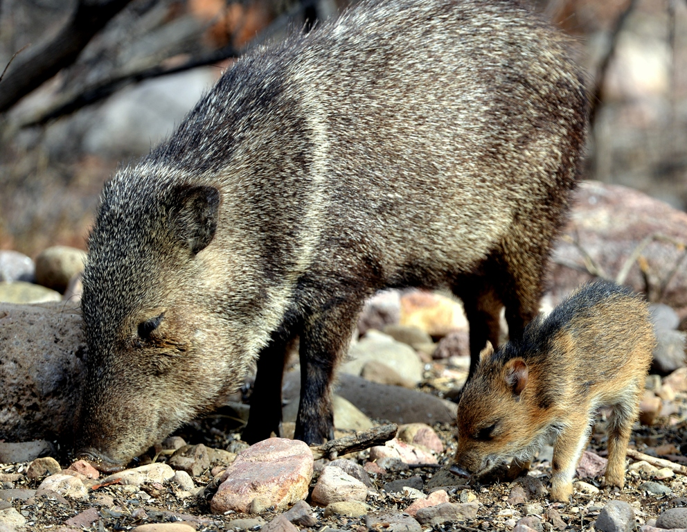 Javelinas | Portal, Arizona | February, 2013