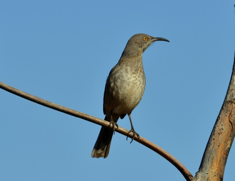 Curve-billed Thrasher | Portal, Arizona | December, 2012