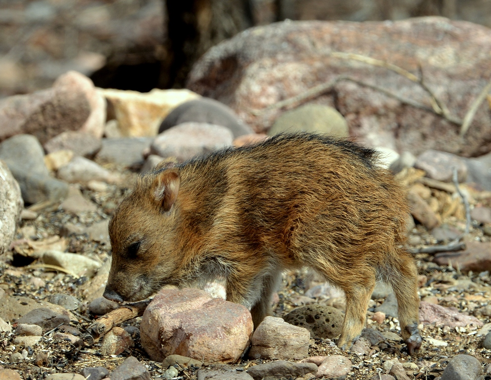 Javelina – Juvenile | Portal, Arizona | February, 2013