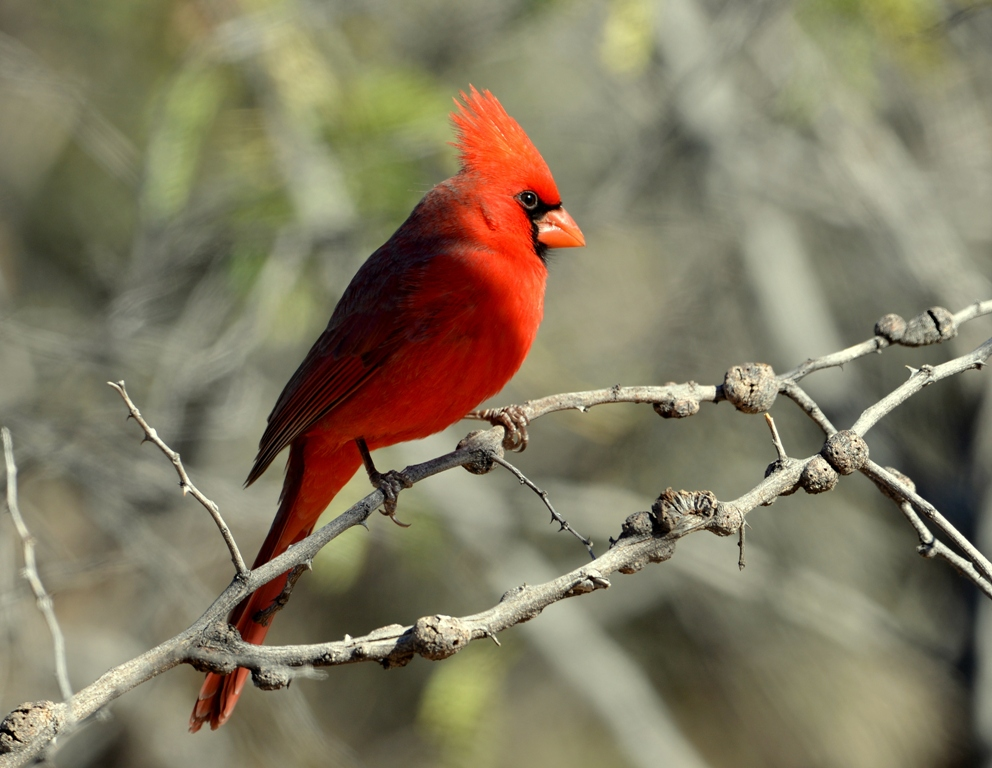 Northern Cardinal – Male | Portal, Arizona | December, 2012