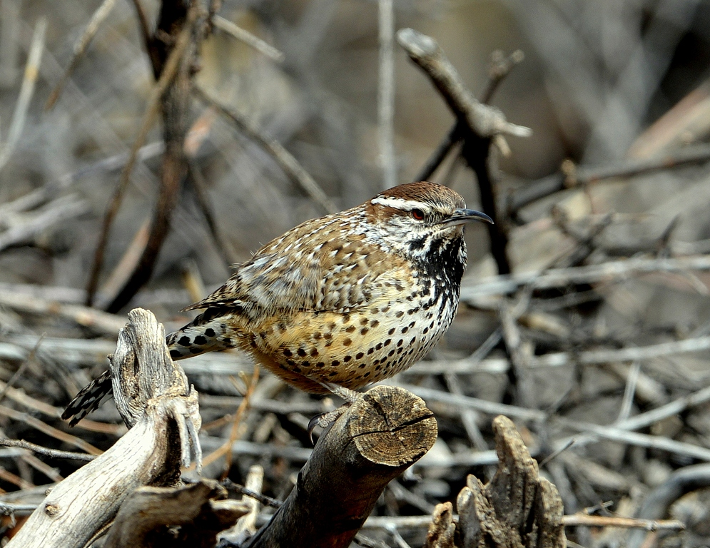 Cactus Wren | Portal, Arizona | February, 2013