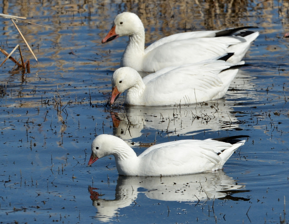 Ross's Goose | Bosque del Apache | February, 2013