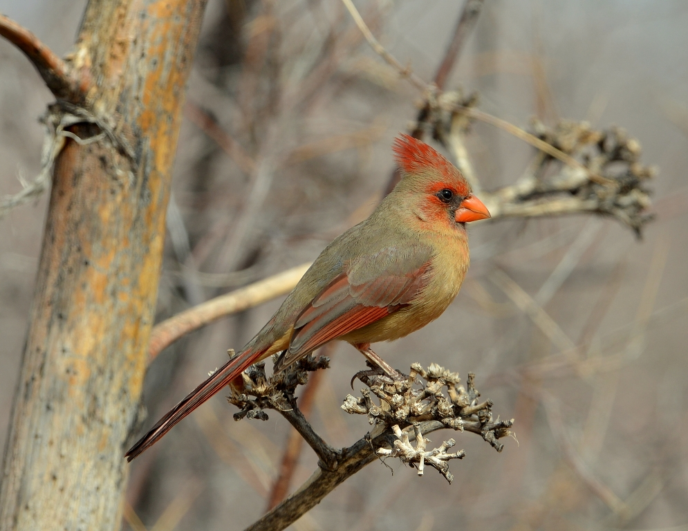 Northern Cardinal – Female | Portal, Arizona | February, 2013