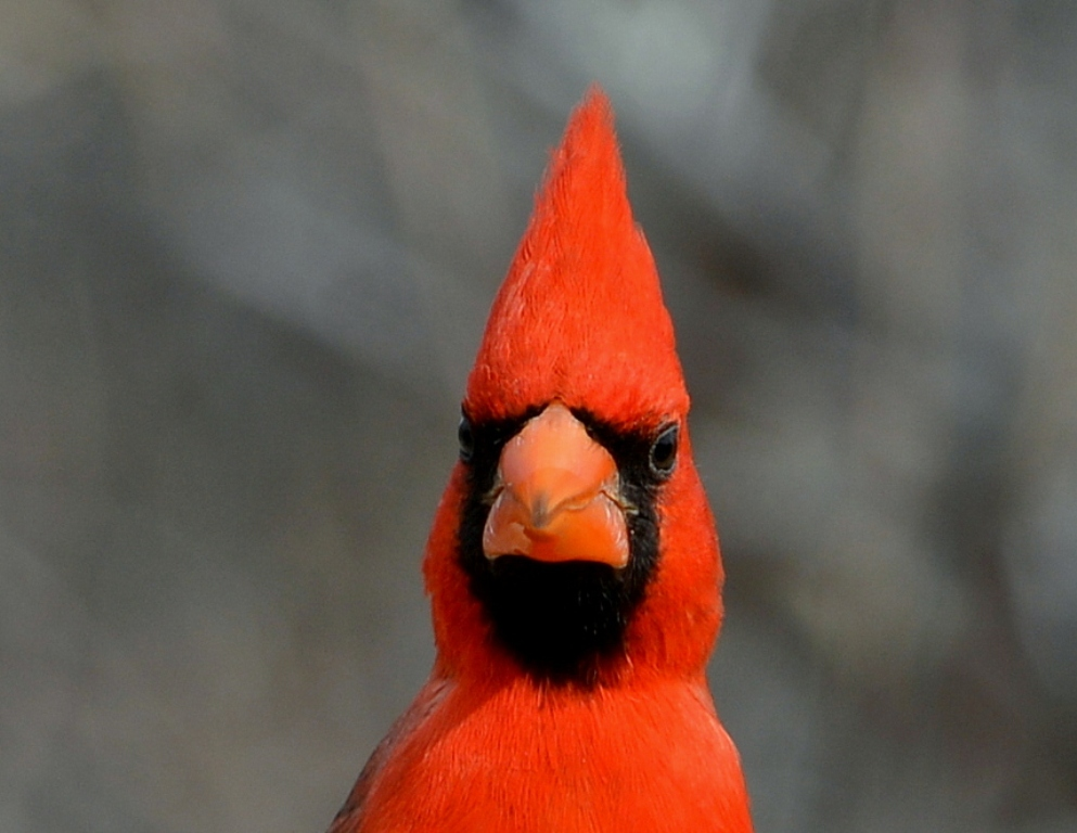 Northern Cardinal – Male | Portal, Arizona | February, 2013