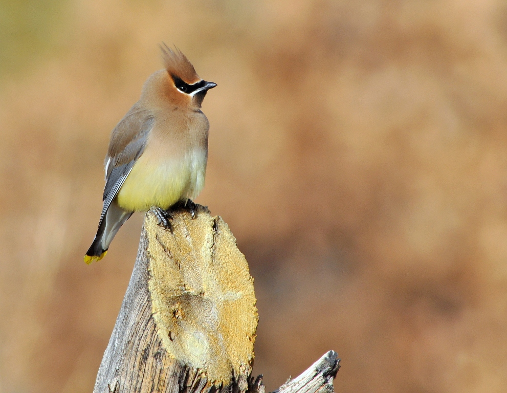 Cedar Waxwing | Los Alamos, New Mexico | February, 2013