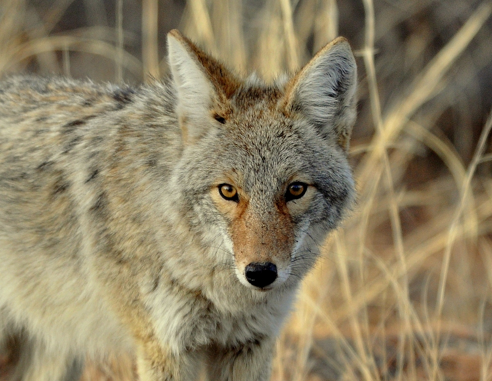 Coyote | Los Alamos, New Mexico | February, 2013