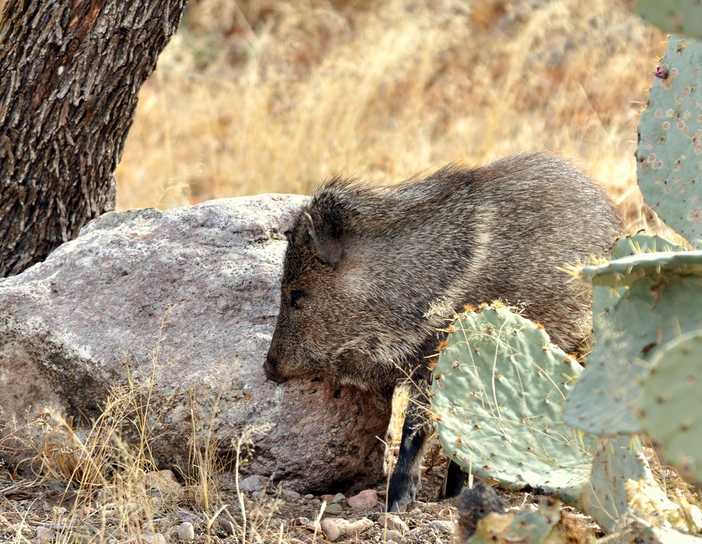 Javelina | Portal, Arizona | February, 2013