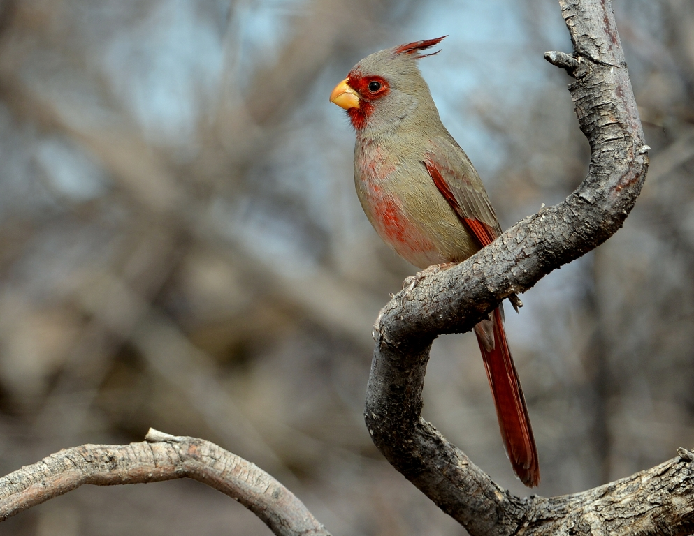 Pyrrhuloxia – Male | Portal, Arizona | February, 2013