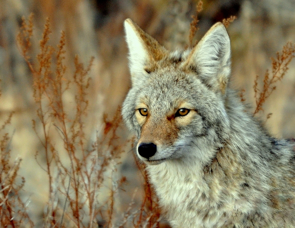 Coyote | Los Alamos, New Mexico | February, 2013