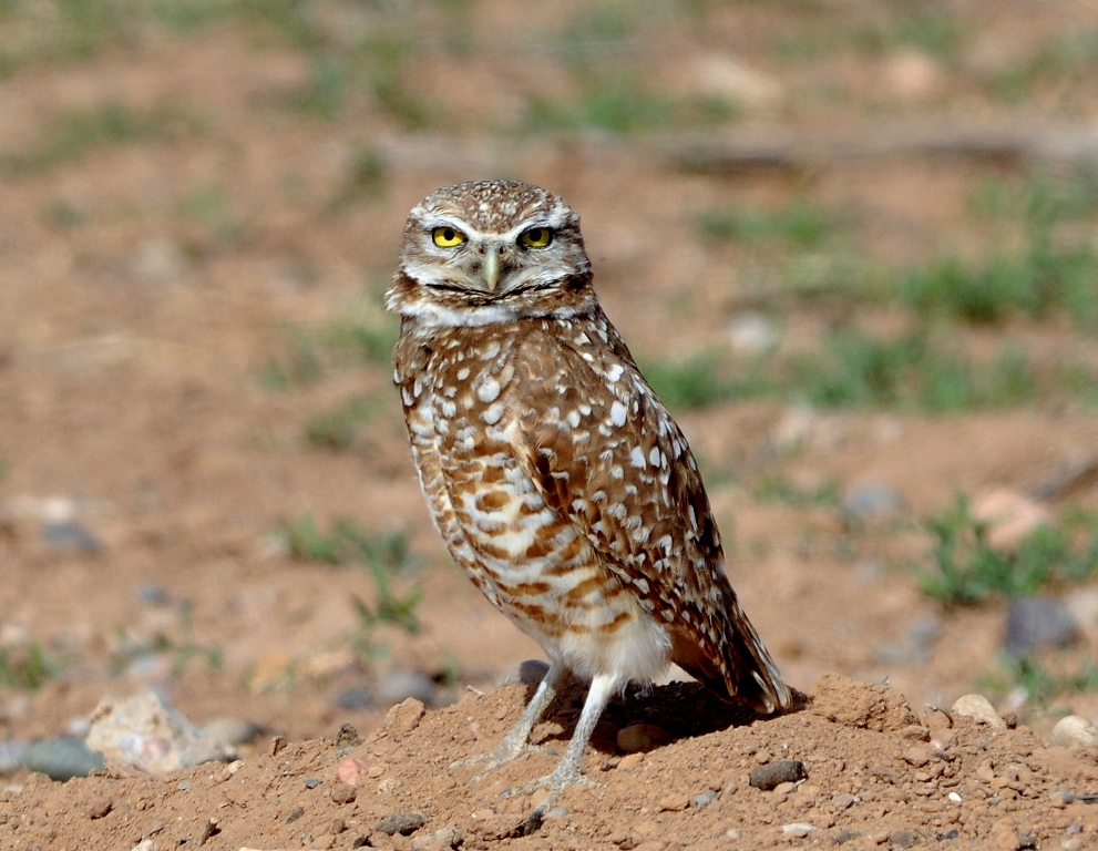 Burrowing Owl | Belen, New Mexico | May, 2013