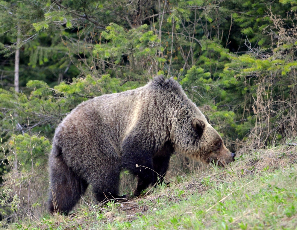 Grizzly Bear | Radium Hotsprings, B.C. | May, 2013