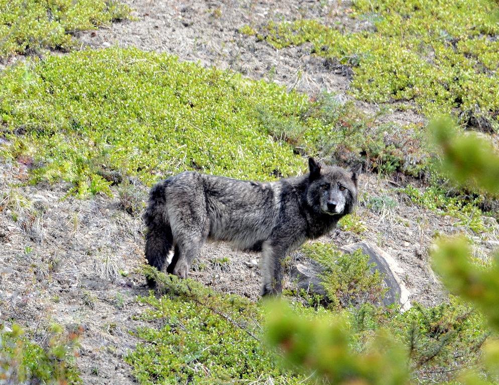 Gray Wolf | Jasper National Park | May, 2013