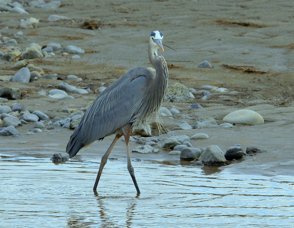 Great Blue Heron | Yellowstone National Park | May, 2013