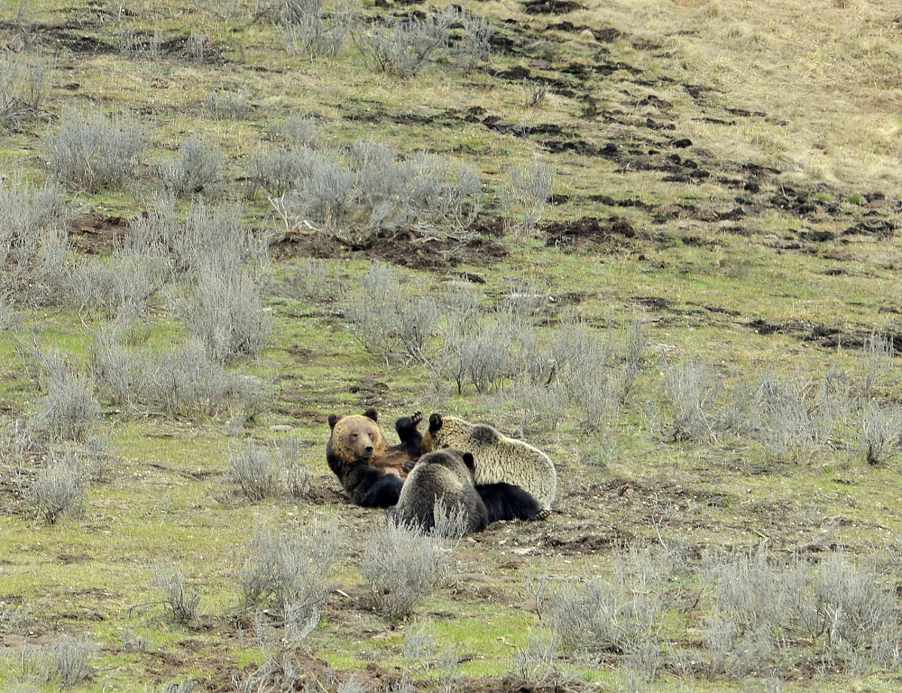 Grizzly Bear and Cubs | Yellowstone National Park | May, 2013