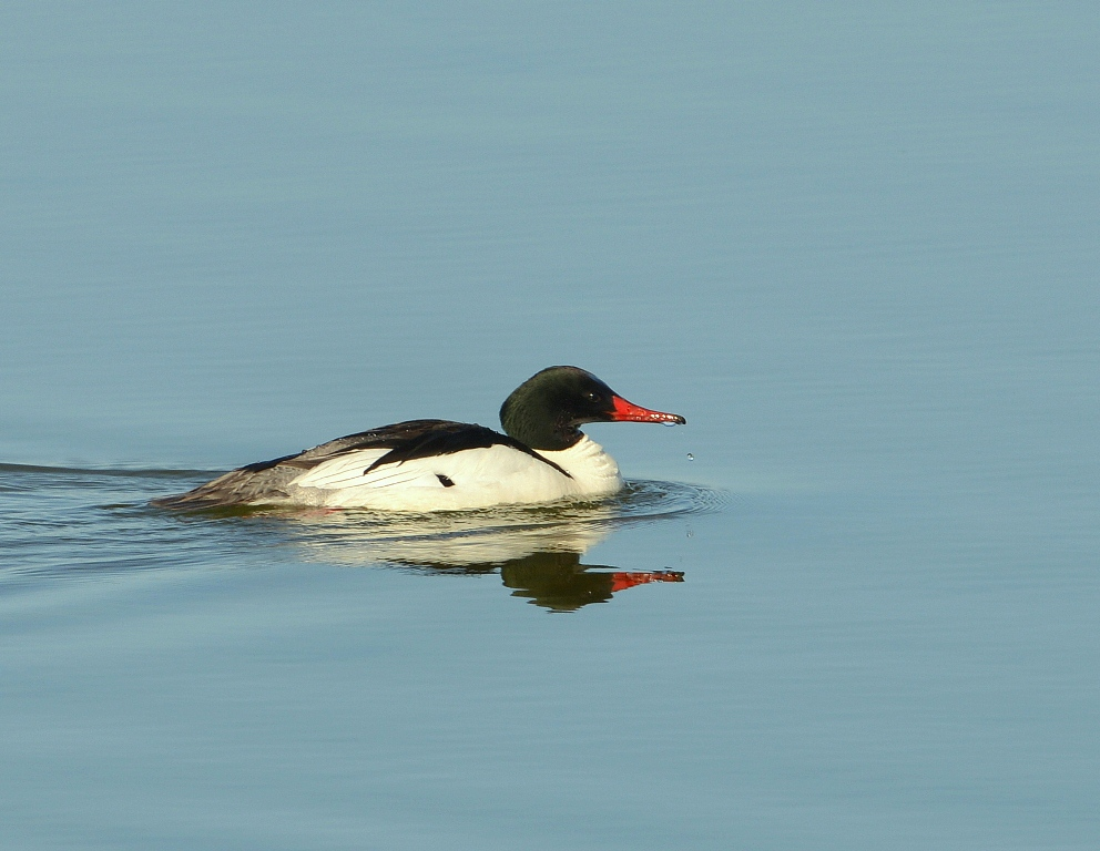 Common Merganser | Yellowstone National Park | May, 2013