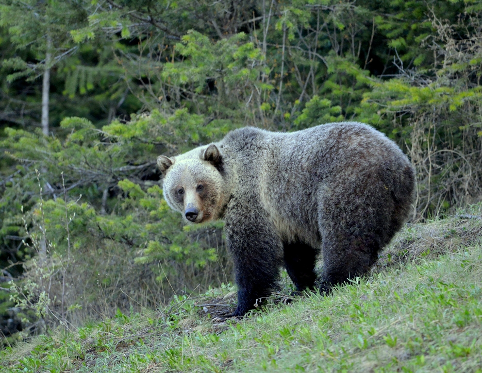 Grizzly Bear | Radium Hot Springs, B.C. | May,2013