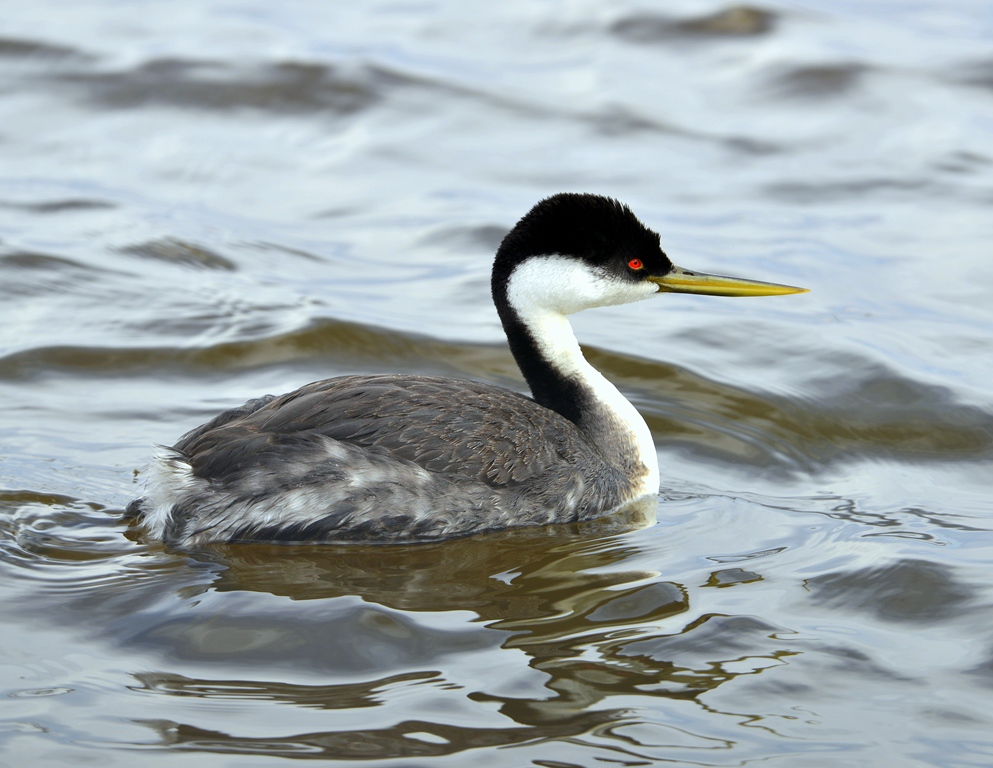 Western Grebe | Walden, Colorado | May, 2013