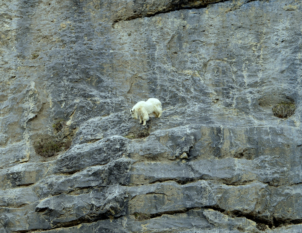 Mountain Goat | Jasper National Park | May, 2013