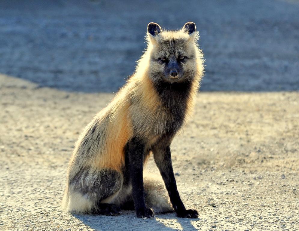 Red Fox | Prince George, B,C. | May,2013