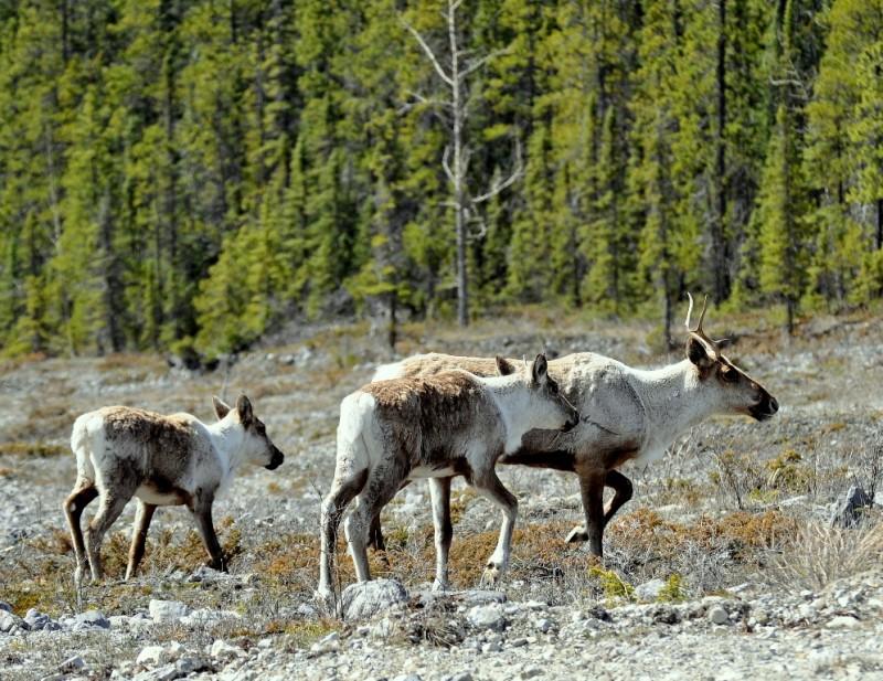 Caribou   Watson Lake, Yukon   May, 2013