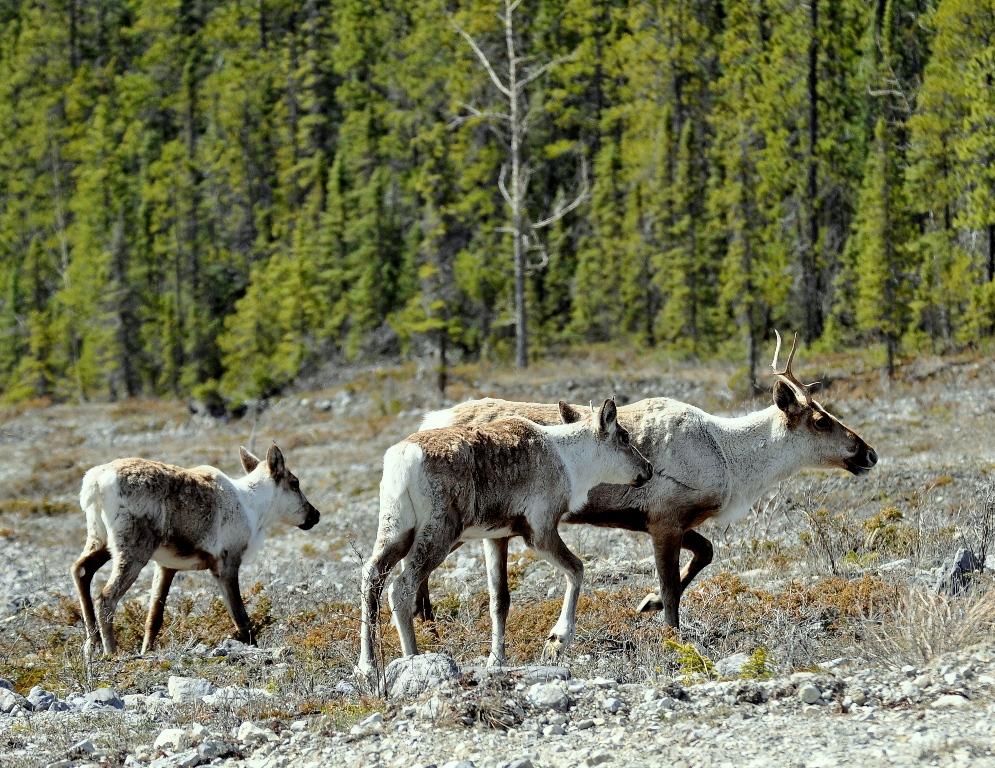 Caribou | Watson Lake, Yukon | May, 2013