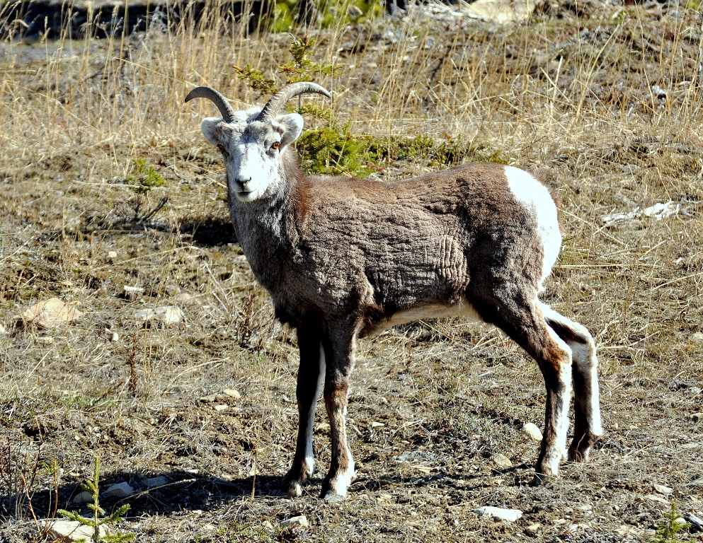 Stone Sheep – Female | Watson Lake, Yukon | May, 2013