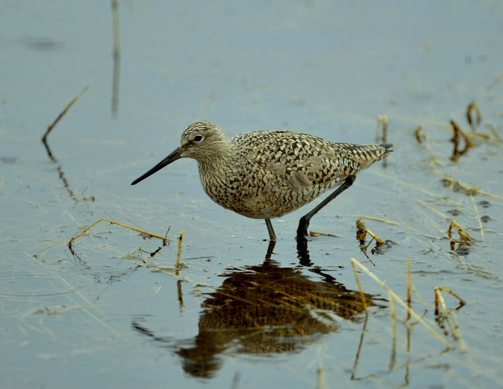 Willet | Walden, Colorado | May, 2013