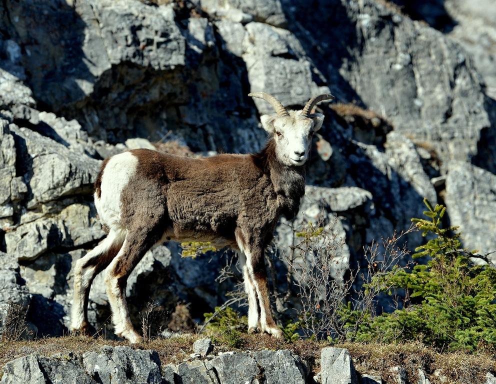 Stone Sheep – Female | Watson Lake, Yukon | May, 2013