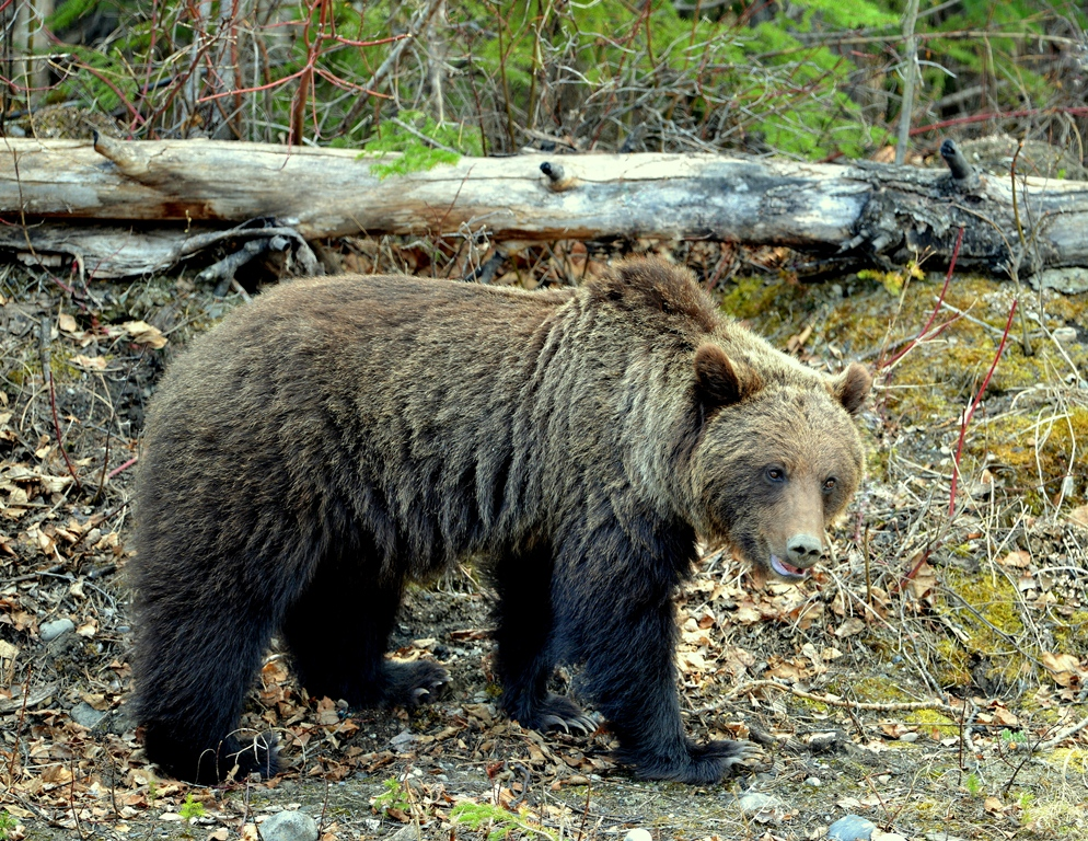 Grizzly Bear | Watson Lake, Yukon | May, 2013