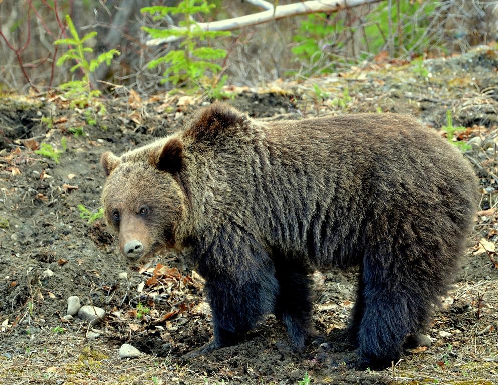 Grizzly Bear   Watson Lake, Yukon   May, 2013