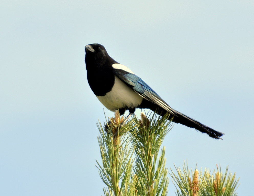 Black-billed Magpie | Yellowstone National Park | May, 2013