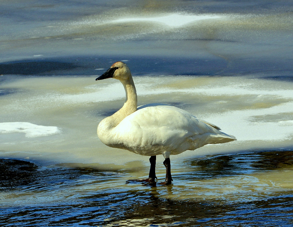 Trumpeter Swan | Tok, Alaska | May, 2013